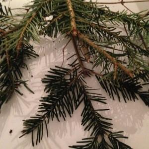 branches de sapin nordmann